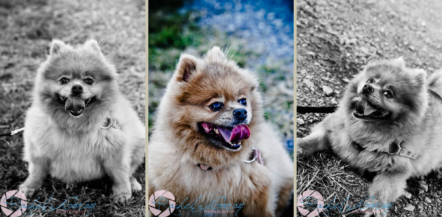 Dog portraits photography in Rockville MD